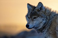 wild wolf canis lupis in the Altai Region of Bayan-Ölgii in Western Mongolia