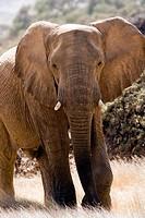 African Elephant Desert-adapted - Huab River, near Twyfelfontein, Damaraland, Namibia, Africa
