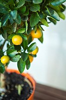 Calamondin is a variety of orange, that has heavily scented flowers and miniature orange fruit  Located in Valencia, Spain
