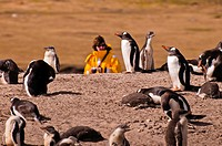 A woman stands behind a colony of gentoo penguins at Saunders Island.