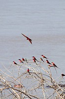 Carmine Bee_eaters perched on bare branches above the Luangwa River.