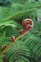 Fern in Golden Gate Park, San Francisco, California, USA