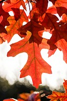 Scarlet Oak Leaves in Autumn