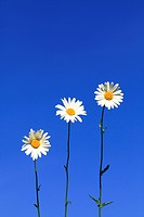Three daisys