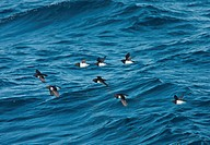 Little Auk Alle alle eight adults, summer plumage, flock in flight over sea, Svalbard, june