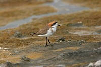 Puna Plover Charadrius alticola adult, standing on rock, Lauca N P , Northern Chile, november
