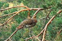 Western Capercaillie Tetrao urogallus adult female, watching display from branch in pine tree, Caledonian Forest, Cairngorms N P , Grampian Mountains,...