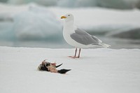 Glaucous Gull Larus hyperboreus adult, summer plumage, feeding on dead guillemot, standing on sea ice, Svalbard, july