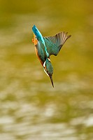 Common Kingfisher Alcedo atthis adult female, in flight, diving for fish, Worcestershire, England, april