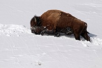 North American Bison Bison bison adult, walking in deep snow, Yellowstone N P , Wyoming, U S A , february