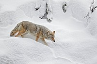 Coyote Canis latrans adult, walking in deep snow, Yellowstone N P , Wyoming, U S A , february