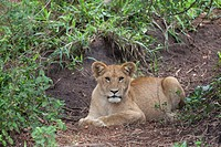 Lion Panthera leo cub, resting on ground, Serengeti N P , Tanzania, november