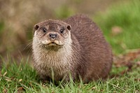 European Otter Lutra lutra adult, sitting on grass bank, England, march captive