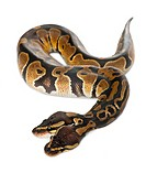 Two headed Royal Python