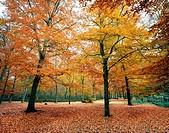 autumn, belvedere woods, kent, england, uk, europe