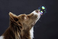 Border Collie and soap bubble / side