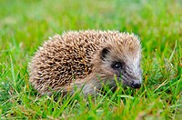 Stock photo of a baby hedgehog