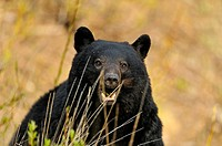 American Black bear Ursus americanus Roadside specimen in spring