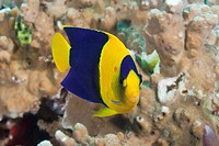 Underwater Life, FISH: A colorful Bicolor Angelfish, or Rock Beauty Centropyge bicolor swimming on a tropical coral reef. South Pacific Ocean, Beqa La...