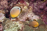 Underwater Life, FISH: A Pair of Redfin Butterflyfish Chaetodon lunulatus feeding on tropical coral reef, South Pacific Ocean, Fiji.