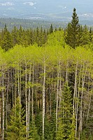 Poplars and pines in the Athabasca River Valley from the Marmot Basin Road, Jasper NP, Alberta,