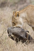 Lioness killing a warthog in the Masai Mara