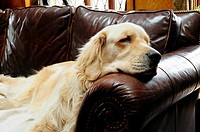 English Golden Retriever napping on leather couch