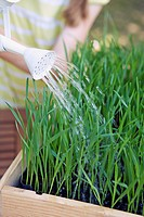 Growing wheat, watering plants with watering can