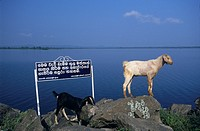 Goats on lakeside rocks, lake Topawewa, Polonnaruwa, Sri Lanka