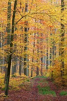 Beech Woodland Fagus sylvaticus, in autumn colour, Lower Saxony, Germany Hessen, Germany
