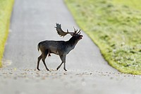 Fallow Deer Dama dama, Buck Roaring and Crossing Road, Royal Deer Park, Klampenborg, Copenhagen, Sjaelland, Denmark