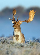 Fallow Deer Dama dama, Buck Alert during the Rut, Royal Deer Park, Klampenborg, Copenhagen, Sjaelland, Denmark