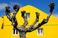 Azores San Miguel Island Portugal Plane Tree against yellow building