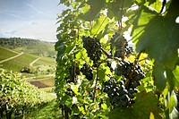 Vineyard in Stuttgart