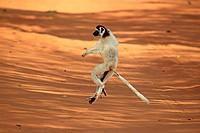 Verreaux`s Sifaka, Propithecus verreauxi, Berenty Reserve, Madagascar, Africa, adult jumping