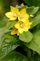 Yellow Loosestrife Lysimachia punctata flowers close up