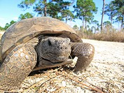 a gopher tortoise in Florida USA