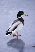 Mallard duck standing in the middle of a frozen lake in Surrey, England, UK
