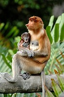 Proboscis Monkey Female With Blue Baby at the Labuk Bay Proboscis Monkey Sanctuary Sabah Borneo Malaysia