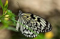 Rice paper butterfly  Benalmadena Butterfly Park, Benalmadena, Malaga, Spain