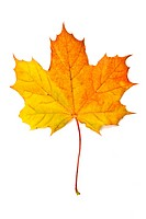 Autumn yellow maple leaf isolated on white