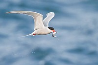 Common Tern Sterna hirunda flying along the coastline of Newfoundland, Canada.