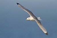 Black_legged Kittiwake Rissa tridactyla flying along the coastline of Newfoundland, Canada.