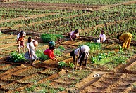Planting Crops in South Goa