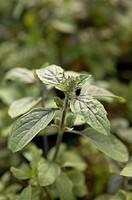 Variegated African Blue Basil Herb