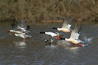 Common Merganser / Goosander Mergus merganser flock taking off from river, Germany