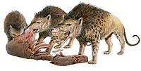 Andrewsarchus, artwork. This carnivorous ungulate hoofed mammal lived during the Eocene epoch, 60_32 million years ago.