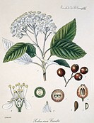 Whitebeam tree Sorbus aria flowers and fruit. Illustration from the Natural History Museum Botany Library Plate Collection.