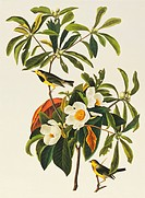 Bachman´s warbler Vermivora bachmanii. Illustration from John James Audubon´s ´Birds of America´, original double elephant folio 1831_34, hand_coloure...