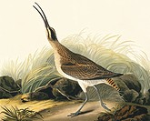 Whimbrel Numenius phaeopus. Illustration from John James Audubon´s ´Birds of America´, original double elephant folio 1834_35, hand_coloured aquatint.